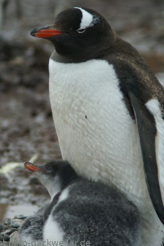 Eselpinguin