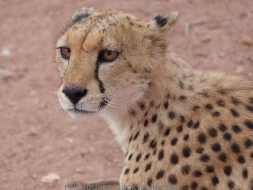 Gepardin namibia