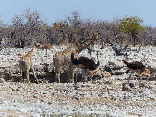 Wasserloch namibia